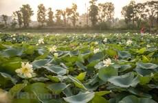 Unique lotus pond in the capital