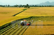 Tra Vinh to switch to other crops on 7,400ha of low-yield rice fields