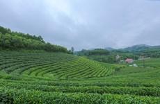 Thai Nguyen: efforts made to revive Song Cau tea