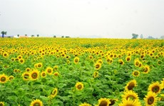 Brilliant field of sunflowers in Saigon