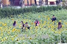 Unique sunflower garden in Hanoi