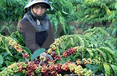 Vietnam boosts production of speciality coffee