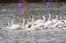 Swans beautify Hai Phong's upcoming pedestrian street