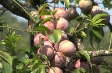 Son La province boosts plum production
