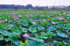 Lotus adds money to pockets of farmers in Kien Giang