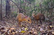 World's smallest ungulates, lost for 30 years, spotted in Vietnam
