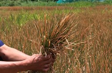 Local proactive in protecting rice crop from drought