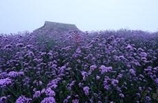 Fansipan mountain - The season of Verveine flowers