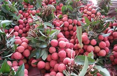 Bac Giang stabilises lychee growing area to guarantee quality