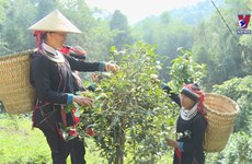 Shan tea gives people a means to escape from poverty