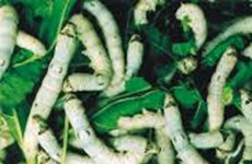 Silkworms to create wealth in remote area