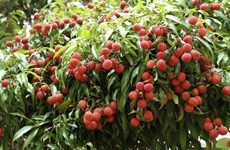 "Ensuring standards, quality in exports of Luc Ngan ""thieu"" litchi to Japan"