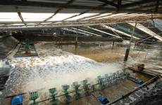 Success in shrimp aquaculture from advanced technology