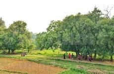Unique ancient trees in Duong Lam ancient village