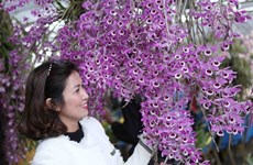 Lai Chau orchids flaunt their beauty