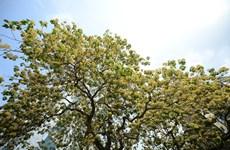 'Treasure' tree of Dinh Thon village in full bloom