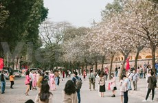 Ban flowers in full bloom in Hanoi