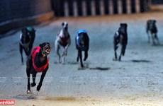Dog racing in Vung Tau