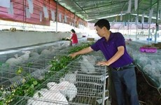 Lai Chau farmers cash in on rabbit farming