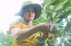 Bac Kan promotes seedless persimmon