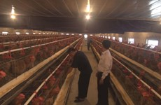Farmer hatches success in chickens