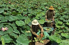 Rice fields converted to lotus cultivation for better profit