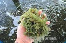 Sea grapes offer sustainable livelihood for islanders