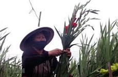 Sword lilies expected to bring farmers big fortune ahead of Tet