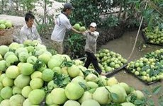 Ben Tre green-skin pomelo value chain proves effective