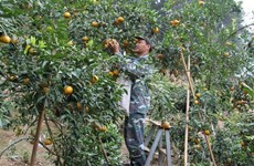 Links developed to promote sweet oranges in Bac Kan