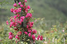Rose valley in misty Sapa