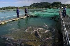 Quang Binh pursues sustainable cage fishing