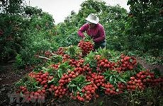 Lychee farmers enjoy the fruits of their labour