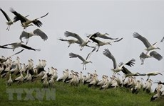 Storks preserved in Bac Ninh
