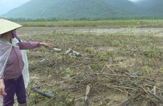 Binh Dinh restores agriculture post-flooding