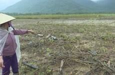 Binh Dinh restores agriculture post-flooding