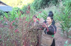 Cong ethnics celebrate cockscomb flower festival