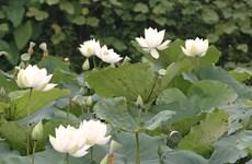White lotus garden enchants flower lovers in Hanoi