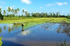 Ca Mau develops high-quality rice farming
