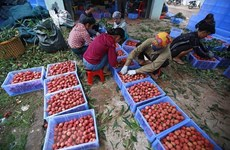 GI certificate – a booster for lychee exports