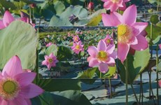 Lotuses show off their beauty in Da Nang