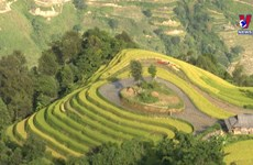 A glimpse of Ha Giang during golden rice season