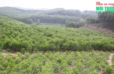 Vinh Phuc develops sustainable forestry economy