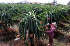 Vietnamese fruit sent to tough markets