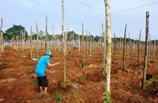Dak Nong: Pepper farmers, enterprises urged to team up