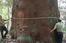 Vietnam conifer recognised as national heritage