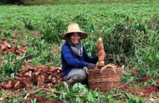 Thailand aims to become region's top cassava producer