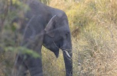 Project to protect Vietnam's elephants kicks off