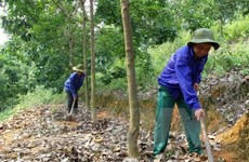 VRG plants 90,000 hectares of rubber in Cambodia so far