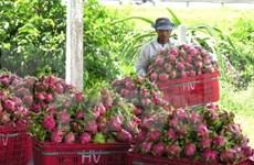 Australia approves in principle import of Vietnam's dragon fruit